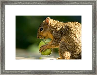 A Red Fox Squirrel Chews On A Walnut Framed Print by Joel Sartore