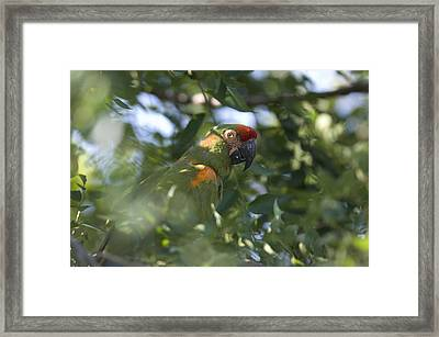 A Red-fronted Macaw At The Sedgwick Framed Print by Joel Sartore