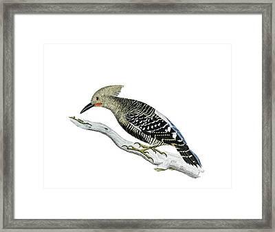 A Red Headed Woodpecker 2 Framed Print