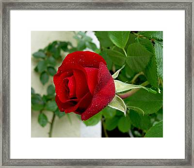A Red Rose In The Dew Of Pearls Hours Framed Print by Helmut Rottler
