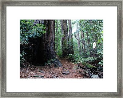 A Redwood Trail Framed Print by Ben Upham III