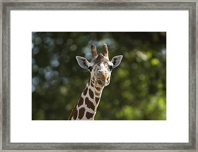 A Reticulated Giraffe Sticks Its Tongue Framed Print
