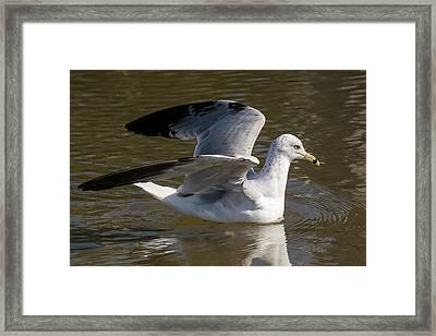 A Ring-billed Gull Framed Print by Bruce Frye