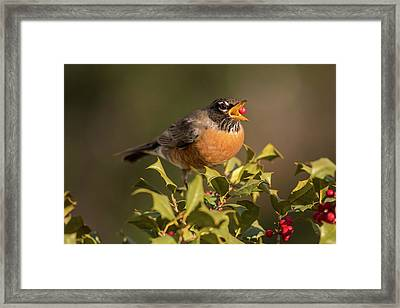 A Robin And Berry Framed Print