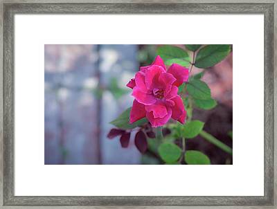 A Rose And A Hard Place Framed Print by Stefanie Silva