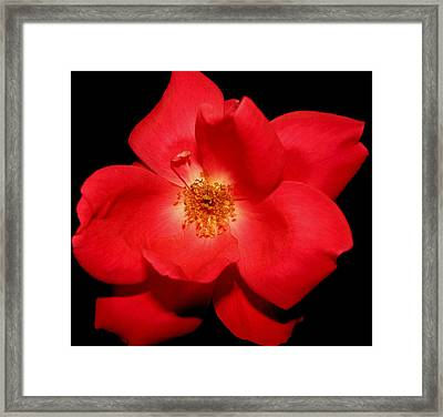 A Rose By Any Other Name Framed Print by Dottie Dees