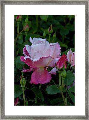 A Rose Garden Awakens Framed Print