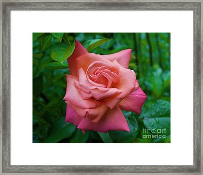A Rose In Spring Framed Print