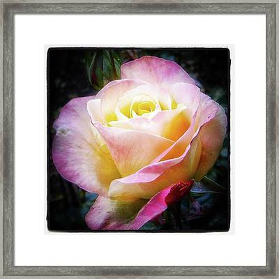 A Rose Is A Rose Is A Rose, Variation Framed Print by Mr Photojimsf