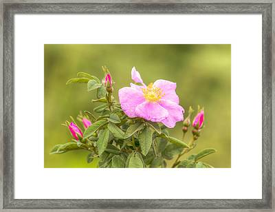 A Rose Is A Rose Framed Print by Kristina Rinell