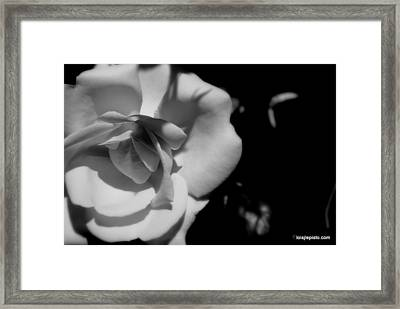 Framed Print featuring the photograph A Rose by Lois Lepisto