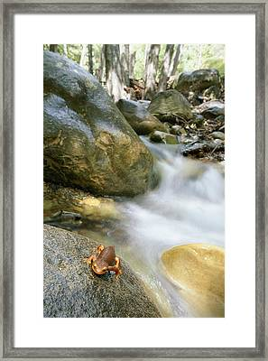 A Rough-skinned Newt Sits On A Rock Framed Print by Rich Reid