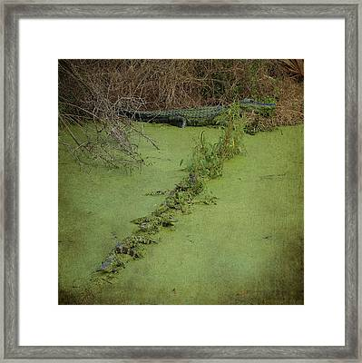A Row Of Baby Gators  Framed Print