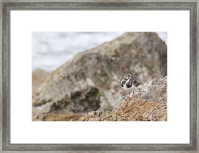 A Ruddy Turnstone Perched On The Rocks Framed Print