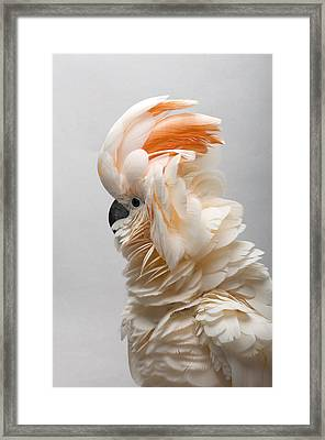 A Salmon-crested Cockatoo Framed Print