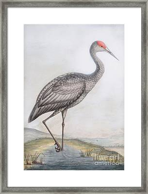 a Sandhill Crane Framed Print by MotionAge Designs