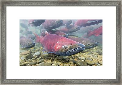 A School Of Chinook Salmon Framed Print
