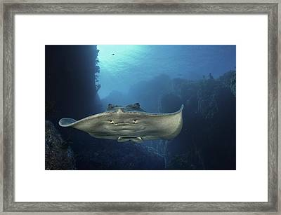 A Short-tailed Stingray Swimming In An Framed Print
