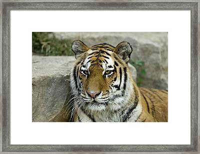 A Siberian Tiger At The Henry Doorly Framed Print