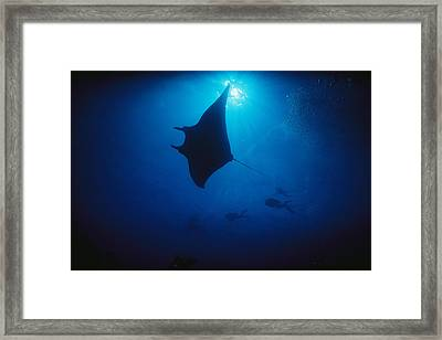 A Silhouetted Manta Ray Swims In Deep Framed Print by Raul Touzon