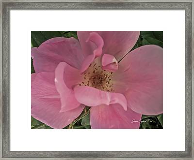 Framed Print featuring the photograph A Single Pink Rose by Joann Copeland-Paul