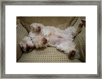 A Sleeping Maltese Dog Lies In Awkward Framed Print by Stephen St. John