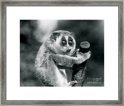 A Slender Loris Holding On To The End Of A Branch Framed Print