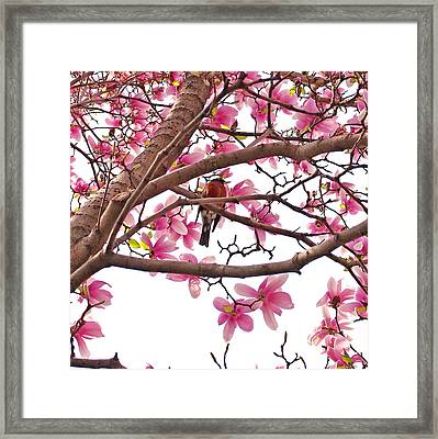 A Songbird In The Magnolia Tree Framed Print by Rona Black