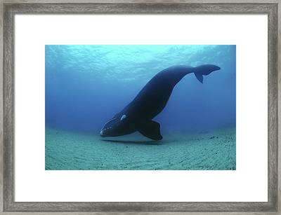 A Southern Right Whale Hovers Inches Framed Print by Brian J. Skerry