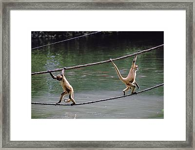 A Spider Monkey At Omahas Henry Doorly Framed Print
