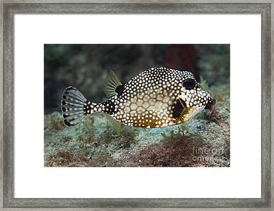 A Spotted Trunkfish, Key Largo, Florida Framed Print