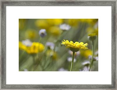 A Spring Daisy Framed Print
