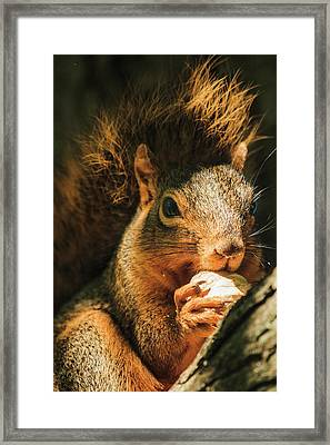 A Squirrel And His Nut Framed Print
