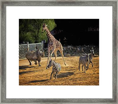 A Stampede Framed Print by Martin Newman