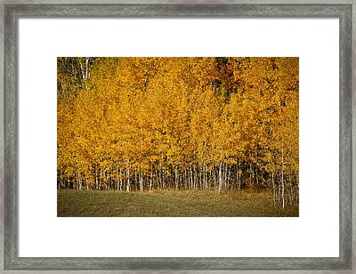 A Stand Of Aspen Framed Print