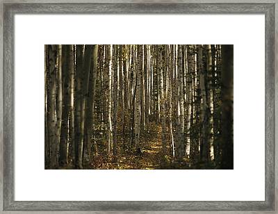 A Stand Of Birch Trees Show Framed Print by Raymond Gehman