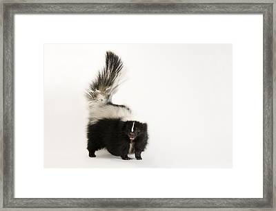 A Striped Skunk, Mephitis Mephitis Framed Print by Joel Sartore
