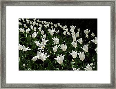 A Study In Black And White Tulips Framed Print by Victoria Harrington