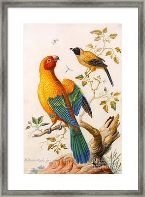 A Sun Conure Parrot  Framed Print by MotionAge Designs