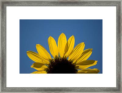 A Sunflower In Eastern Montana Framed Print