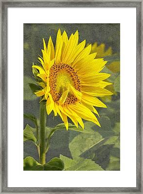 A Sunflower's Prayer Framed Print