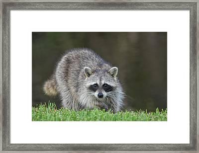 A Surprised Raccoon Framed Print