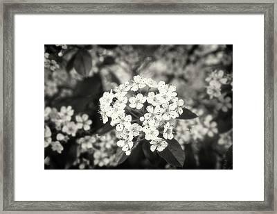 A Thousand Blossoms Sepia 3x2 Framed Print