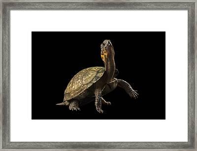A Threatened Bog Turtle At Zoo Atlanta Framed Print by Joel Sartore