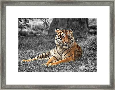 A Tiger Relaxing On A Cool Afternoon II Framed Print