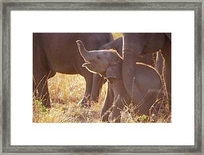 A Tiny Endangered Asian Elephant Calf Framed Print by Jason Edwards