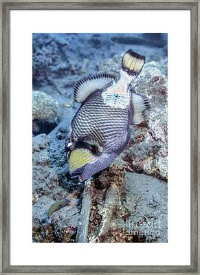 A Titan Triggerfish Faces Framed Print by Michael Wood