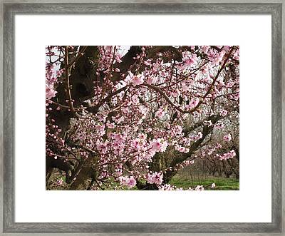 A Touch Of Pink 2 Framed Print by Susanne Awbrey
