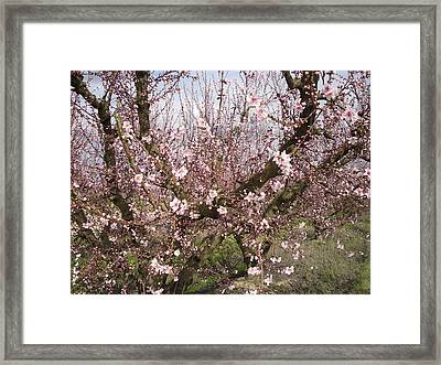 A Touch Of Pink 5 Framed Print by Susanne Awbrey