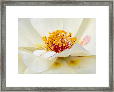 A Touch Of Pink Framed Print by David Waldrop